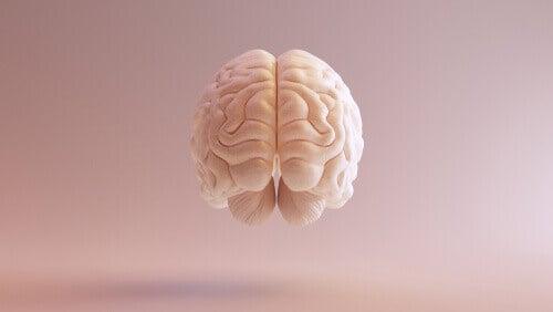 Un vue frontale du cortex associatif du cerveau