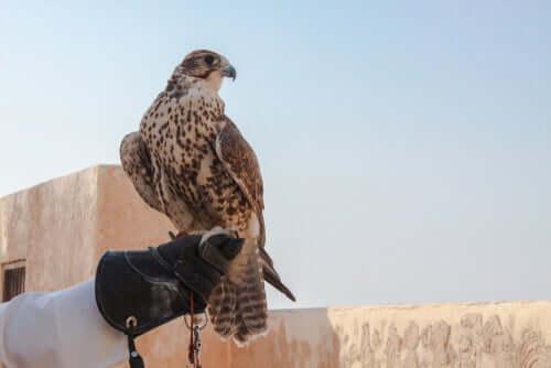 Un faucon qui regarde au loin