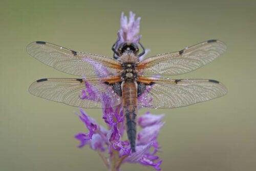 Une libellule sur une fleur violette