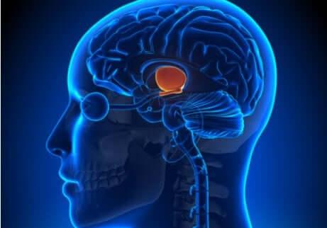 Le contrôle du poids dans le cerveau