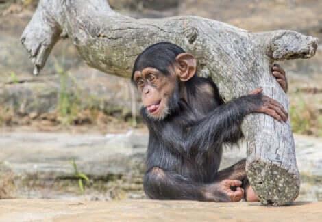 Il s'agit du singe Washoe.