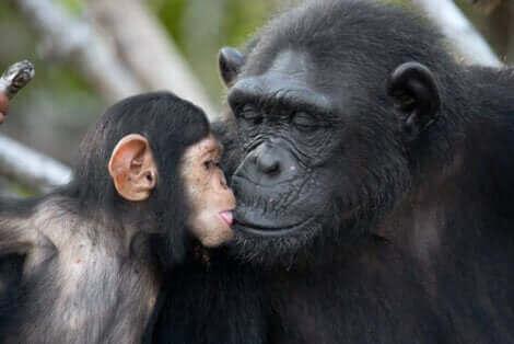 Jane Goodall a fait changer notre perception des singes.