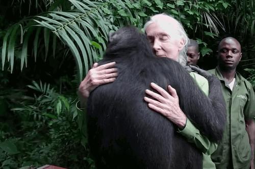 Jane Goodall, de fan à référence mondiale