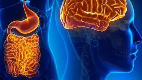 Neurones intestinaux : leur relation avec le cerveau