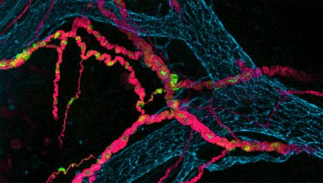 Une illustration représentant des neurones intestinaux.