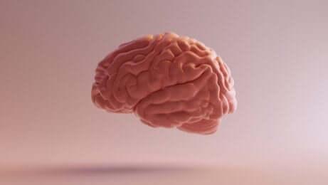 Cerveau et noyaux de raphé.