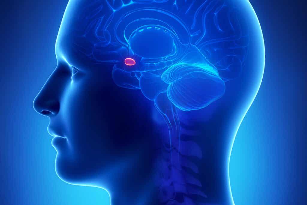 Amygdale du cerveau.