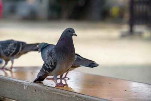 Colombophobie : la peur des pigeons