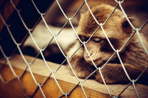 Un singe qui souffre de dépression.