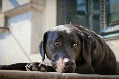 Un chien déprimé.