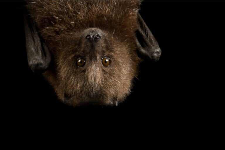 9 curiosités sur les chauves-souris