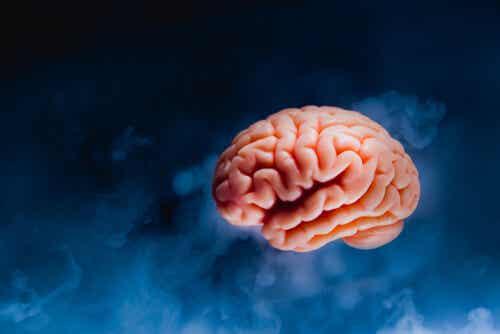 Le corps calleux dans le cerveau.
